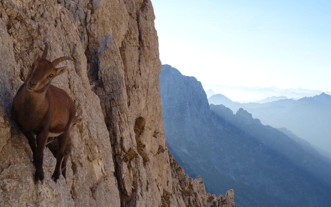 Herbstbegegnung mit Gämsen und Steinböcken Forca dei Disteis (2.201m)